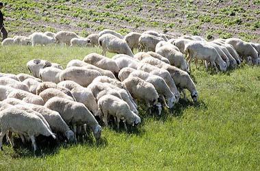 Photo of Овчарство – календар за месец Март