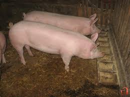 Photo of Од оваа година субвенции и за свињарски фарми