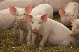 Photo of Вакцинирањето на свињите од свинска чума ќе заврши до Нова Година