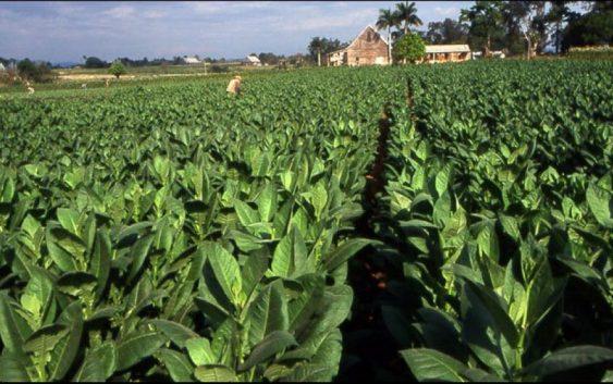 Тутунопроизводителите не пројавуваат интерес за зголемување на засадените површини