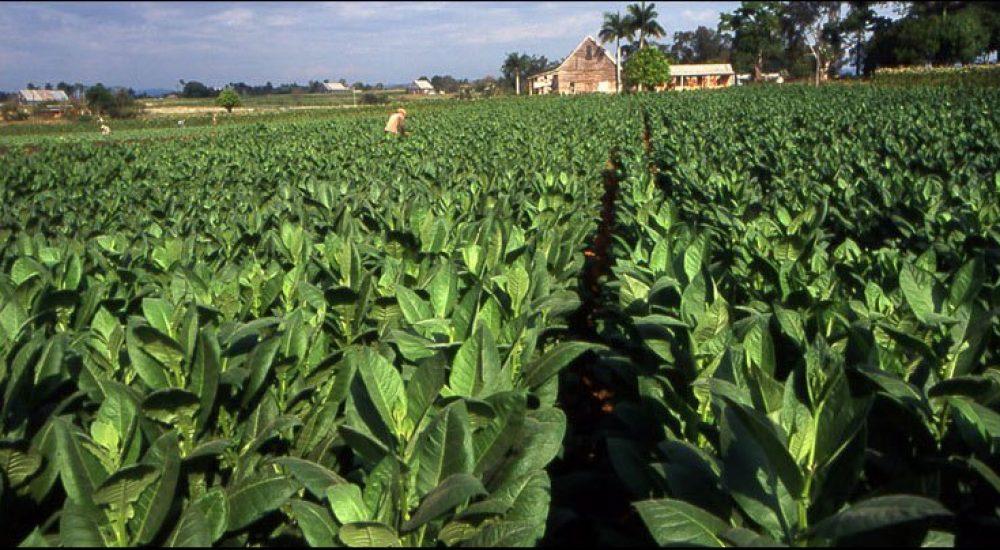 Photo of Тутунопроизводителите не пројавуваат интерес за зголемување на засадените површини