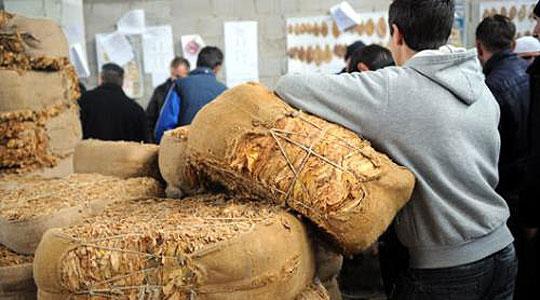 Photo of Заврши откупот на тутунот, постигната највисока просечна цена од 217,6 денари