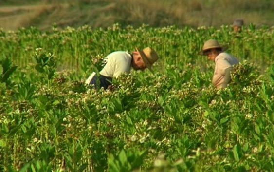Зголемен интерес за ново производство на тутун