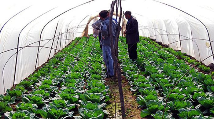 Photo of Струмичките земјоделци задоволни од откупната цена на пролетната зелка