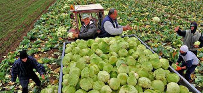 Photo of Средба со откупувачите на пролетна зелка во МЗШВ