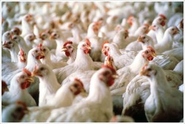 Photo of Во живинарските фарми се воведуваат нови стандарди и има можност за користење на средства од ИПАРД