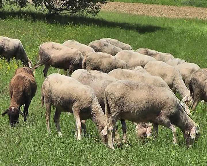 Photo of Македонија остана без овци и без овчари