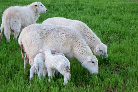Photo of Рокот за субвенции за овци и кози да се пролонгира до 30 јуни, бараат ветеринарите