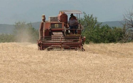 Агросоветот ќе одлучува дали да се откупат 12.000 тони домашна пченица за стоковните резерви
