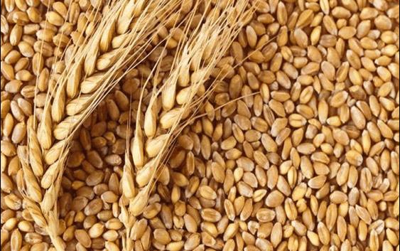 Извозот на руската пченица за 45% повисок во споредба со минатата сезона