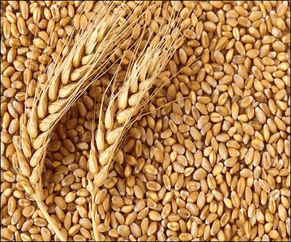 Photo of Извозот на руската пченица за 45% повисок во споредба со минатата сезона