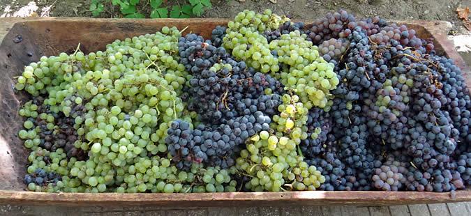 Photo of Плодна година во лозарството, се најавува голем интерес за откуп на грозјето
