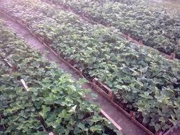 Германците бараат 170.000 сезонски работници : еве колку плаќаат за еден час берење јагоди