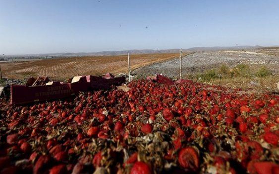 Европските собирачи на овошје ја избегнуваат Британија