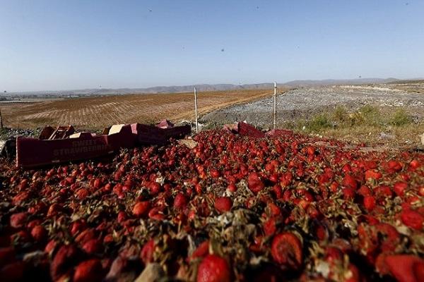 Photo of Европските собирачи на овошје ја избегнуваат Британија