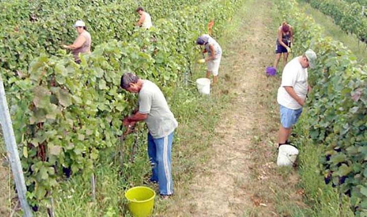 """Photo of Градоначалниците од Тиквешијата бараат """"Повардарие"""" да ги исплати парите за откупеното грозје и сигурен откуп"""