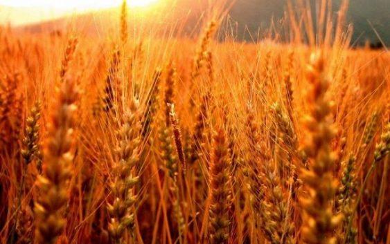 Министерството за земјоделство ја следи состојбата со житните култури