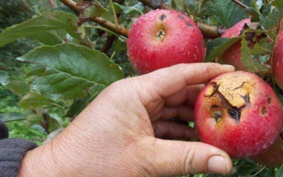 Дождот и градот годинава три пати ги дотолчуваше преспанските јаболка