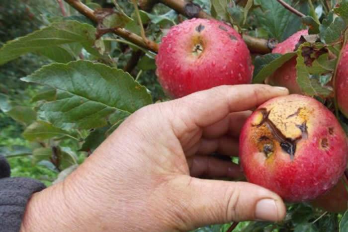 Photo of Дождот и градот годинава три пати ги дотолчуваше преспанските јаболка