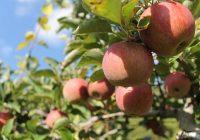 ШАНСА ЗА РАБОТА: Им фалат 10.000 берачи на јаболка