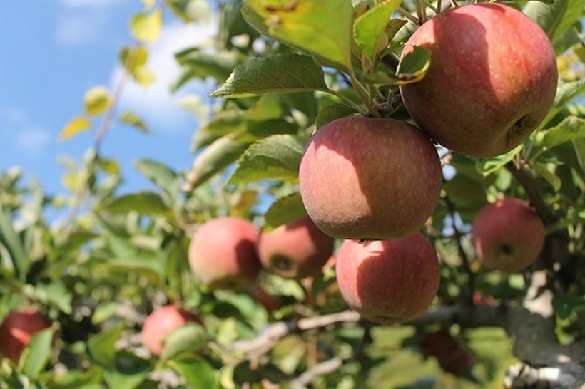 Photo of ШАНСА ЗА РАБОТА: Им фалат 10.000 берачи на јаболка