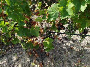 Лозарите бараат цени според шеќерноста на грозјето