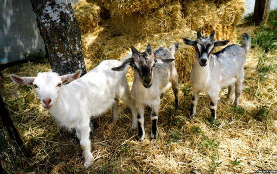 Забрана за увоз на овци и кози и производи од нив од Бугарија поради чума