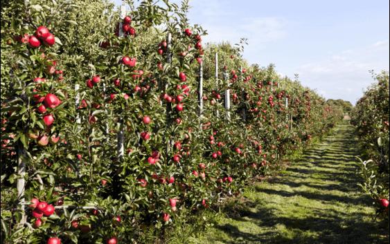 Одгледување јаболка во шпалир  – квалитетот пред квантитетот