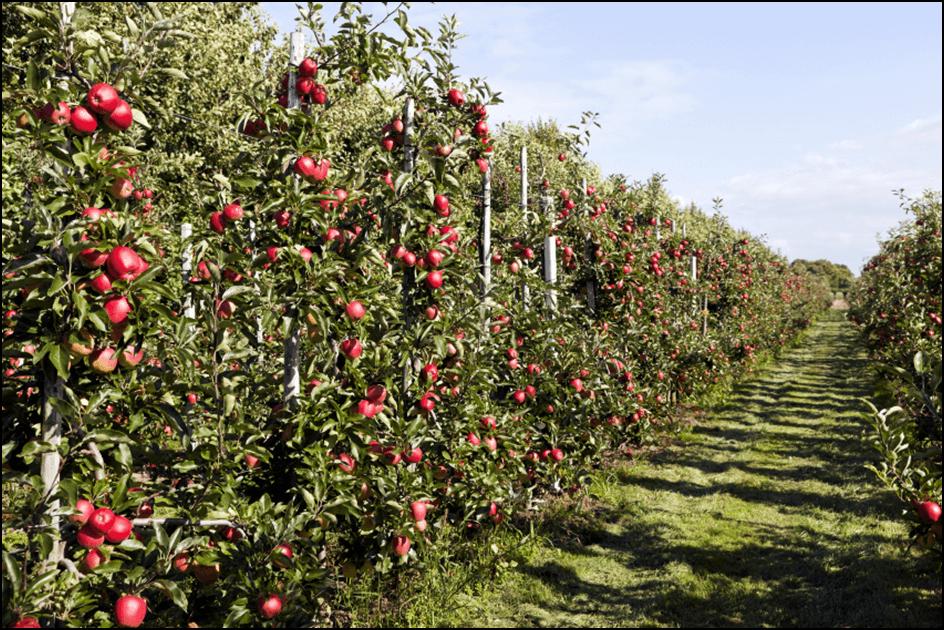 Photo of Одгледување јаболка во шпалир  – квалитетот пред квантитетот