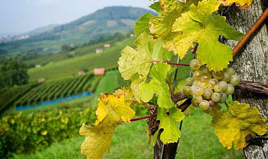 Photo of Лозарите и винарите денеска ќе преговараат за цената на грозјето
