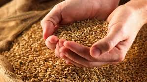 Photo of Диви откупувачи  на жито го рушат пазарот на лиценцираните млинари