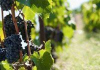 Лозарите бараат грозјето да се плаќа според шеќерни единици