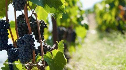 Photo of Лозарите бараат грозјето да се плаќа според шеќерни единици