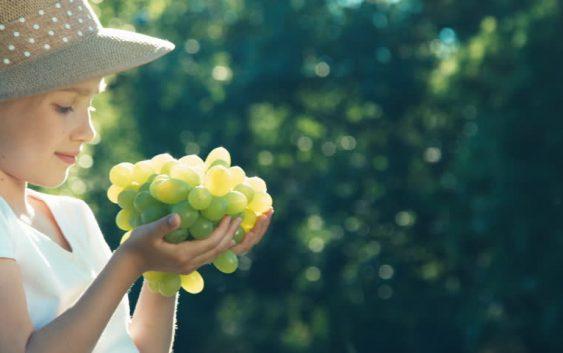 Започна бербата на трпезно грозје во Тиквешко