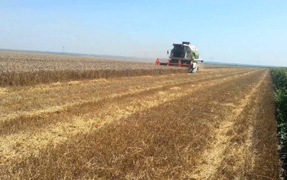 ЖЕТВАТА ВЕЌЕ ПОЧНУВА, А ПЧЕНИЦАТА НЕМА ЦЕНА: Родот на житото е добар, ама дали ќе се офајдат земјоделците?