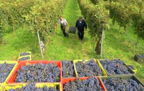 Photo of СЕЗОНСКА РАБОТА: Се бараат берачи на грозје во соседството, а колку може да се заработи?