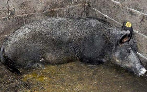 Се спасува од изумирање ендемичната македонска примитивна свиња