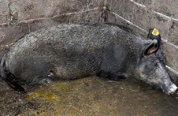 Photo of Се спасува од изумирање ендемичната македонска примитивна свиња