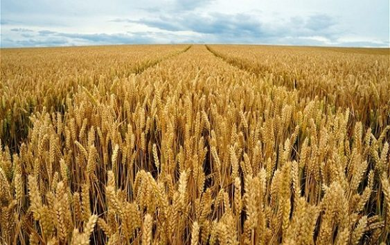 Житото повторно се зголеми на светските берзи