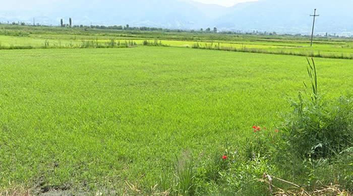 Photo of Земјоделскиот институт бара да се испита дали ГМО оризот е произведен во Кочани
