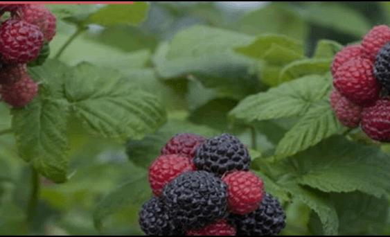 Одгледување на бобинки во дворот