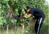 Зошто и како да ги отстраните листовите околу гроздовите?