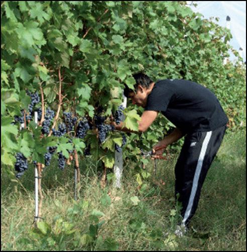 Photo of Зошто и како да ги отстраните листовите околу гроздовите?