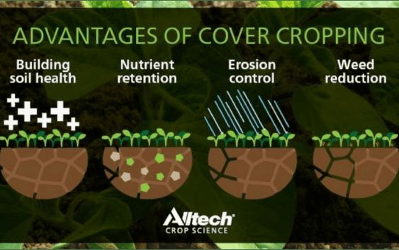 Разлика помеѓу cover crop и сидерати
