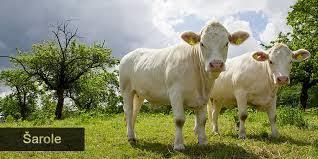 Photo of Шароле говеда – товна раса говеда со најголем процент чисто месо