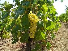 Photo of Откупот на грозје започна и во малите винарии