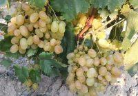 Тиквешки лозаро-овоштари: Со оваа цена на грозјето дефинитивно се уништува земјоделецот