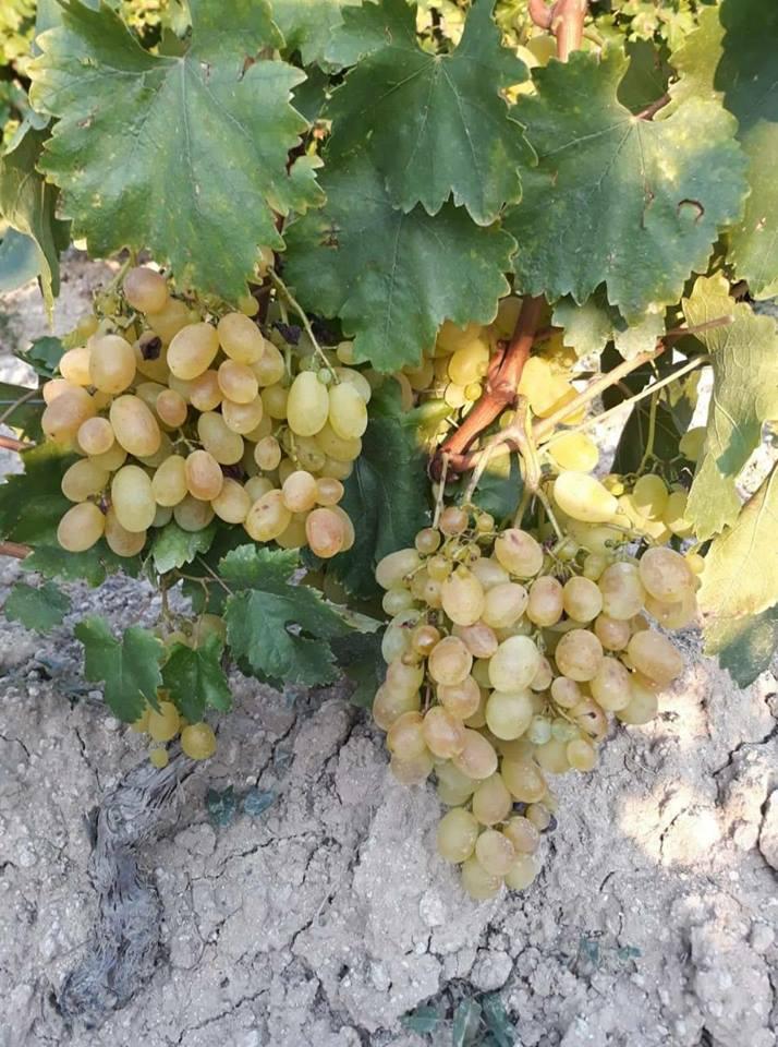 Photo of Тиквешки лозаро-овоштари: Со оваа цена на грозјето дефинитивно се уништува земјоделецот