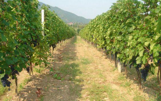 Лозарите очекуваат повисоки откупни цени за грозјето