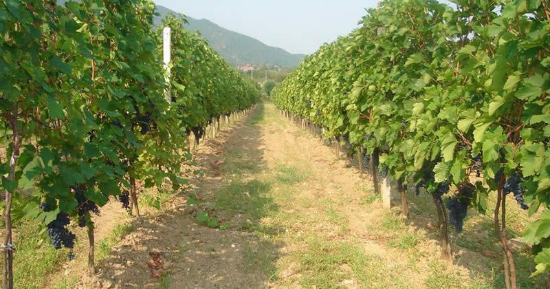 Photo of Лозарите очекуваат повисоки откупни цени за грозјето
